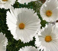 Cosmos Cupcakes Blanc : L'année 2016 et l'année des Cosmos, regardez celui-ci : ces fleurs sont en forme de coupelles à CupCakes ... c'est aussi le nom de cette variété insolite venez découvrir la gamme 2016 de Cosmos
