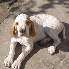5 of the World's Rarest Dog Breeds ~ The Pet's Planet Catalburun- Turkish pointer/hunter split nose breed
