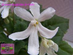 Sp. Lunar Lily