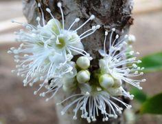 Flor da jabuticaba...