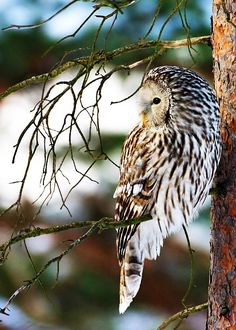 Beautiful Owl