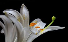 Stunning!! Lily by Vendenis ., via 500px