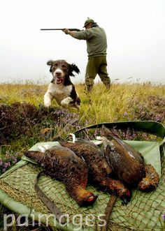 Gamekeeper Alex Hogg working the land with his dog Tilly, on the start of the grouse shooting season in Eddleston, Scotland. Shooters were warned that they may struggle to find grouse as the hunting season got under way - because the heatwave has sent the birds searching for water. The Glorious Twelfth marked the start of the traditional shooting season in Scotland and the north of England.