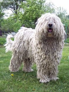 The Komondor white-colored Hungarian dog Huge Dog Breeds, Dog Breeds List, Huge Dogs, All Dogs, Dogs And Puppies, Doggies, Mop Dog, Dog Cat, Hungarian Dog
