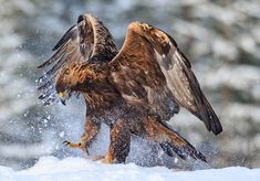 Golden eagle in Finland II - null