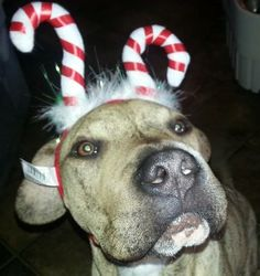 My sweet Buddy, shar pei boxer  mix.  His face wrinkles up when he smiles, looks like Tommy Lee Jones lol