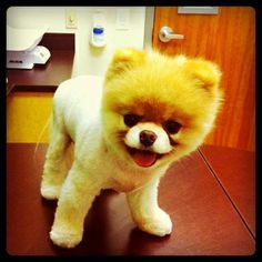 boo_the_cutest_dog_in_the_world - Google Search