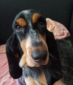 News from MELITA d'An Naoned - Femelle Basset bleu de Gascogne borned 26/04/16 (Houston d'An Naoned x Justin d'An Naoned) Photo : Mrs Jouanne #basset #bassetbleudegascogne #bbg #bassetoftheday #dogoftheday #bassetlife #dogmasternews #dog #chien #hund #pet #petoftheday #dogslife #doglovers #bassetlovers