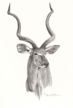 Greater Kudu, just one horn, up my ribcage