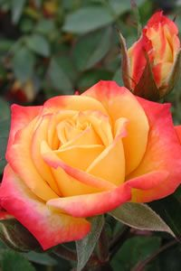 Rainbow's End miniature rose, I have one of these and I love it! My favorite plans of all time!