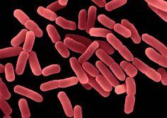 Znalezione obrazy dla zapytania Bacillus