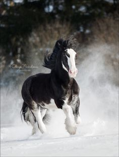 A Clydesdale running in some powdery snow. A great day photographing horses in the mountains of Montana. I imagine that he's on a Budweiser run! Horses In Snow, Big Horses, Black Horses, Cute Horses, Pretty Horses, Horse Love, Show Horses, Most Beautiful Horses, Animals Beautiful