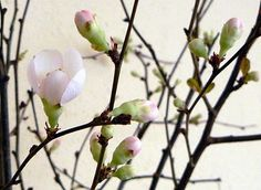White Quince Branches