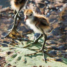 Baby Jacana bird in Kakadu, Northern Territory Australia