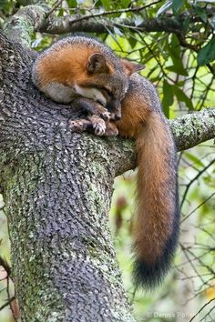 Gray Fox (Urocyon cinereoargenteus) - the only native North American canid that truly climbs trees, and one of only a few in the Dog family (Canidae) capable of doing so.