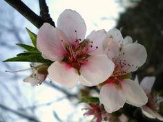 Flor de pessegueiro Hina Matsuri, Peach Blossoms, Spring, Flowers, Beautiful, Small Balconies, Garden, Tatoo, Valentines Day Weddings