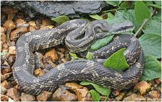 Field Herp Forum • View topic - Some of my field herping pics. pt.