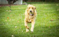 Golden Retriever - pet photography by Katherine Knorp Photography