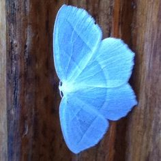 Beautiful blue moth,