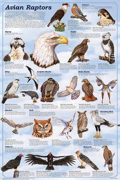 raptors birds | Avian Raptors Poster - the Birds of Prey: Hawk, Eagle, Buzzard, Falcon ...