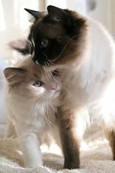 beliebte Katzenrassen - siamesische Katze langhaarig