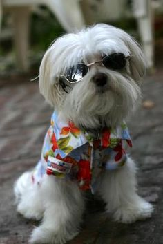 """""""Got these sunglasses today...they are great..he doesn't seem to mind wearing them and he is so cute in them they are K9 Optix glasses by the makers of Doggles."""""""