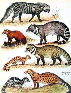 Animal Print  - Civets - 1972 Vintage Encyclopedia Print Book Page