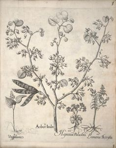 False Lily-of-the-Valley, Judas Tree, Golden Saxifrage, Common Moonwort.Plate from 'Hortus Eystettensis' by Basilius Besler (1561-1629).  Published 1640.Biodiversity Heritage Library.archive.org