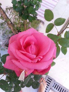 Roasa rosa