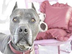 Tavares, FL - American Pit Bull Terrier. Meet VULCAN, a dog for adoption. http://www.adoptapet.com/pet/12406453-tavares-florida-american-pit-bull-terrier
