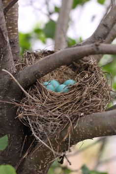 Robin's Nest filled with little Robin eggs.