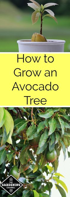 How to Grow an Avocado Tree - Gardening Channel. Avocados are healthy fat and easy to grow from seed. Try planting an avocado in your garden.