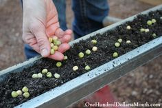 Get a jump start on gardening by planting your peas in gutters. #Gardening #Peas