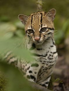 Ocelot (felis Pardalis) Sitting Among Plants, Amazon Rainforest, Ecuador