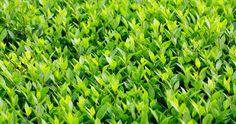 Growing an Evergreen Privet Hedge | Home & Garden Ideas