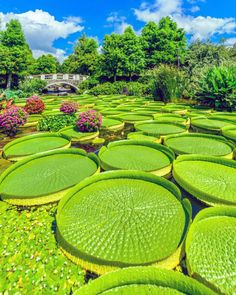 Lost in the water lilies ~ Kusatsu, Shiga Prefecture, Japan Photo: - Best Places to Visit X Beautiful World, Beautiful Gardens, Beautiful Places, Giant Water Lily, Nature Architecture, Lily Pond, Japan Photo, Water Lilies, Amazing Nature