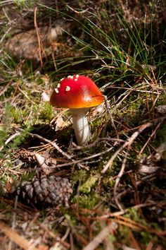 Looks completely out of place - toad stool or Amanita Muscaria