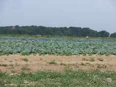 Cabbage  field from 800N