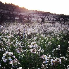 Flors de vinya #Gelida #Enoturisme #Penedes