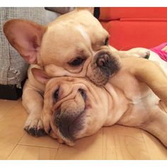 French Bulldogs, via Batpig & Me Tumble It