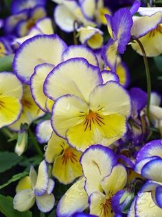 Pansies ~ Cream, yellow, purple… Mother Nature has such a way with color.look at those beautiful & delicate edges. Exotic Flowers, Amazing Flowers, My Flower, Beautiful Flowers, Cactus Flower, Purple Flowers, Colorful Flowers, Johnny Jump Up, Gras
