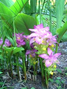 Curcuma ELATA hidden lily ginger flower giant plume mature Rhizome w/ roots...
