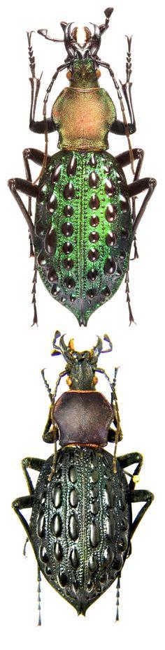 Coptolabrus pustulifer mirificus, Coptolabrus pustulifer yaanicus