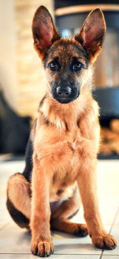 Unbelievable pic of this adorable German Shepherd puppy