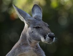 Red kangaroo (male) by Official San Diego Zoo, via Flickr