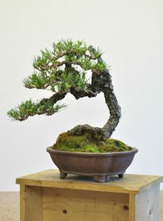 Japanese Black Pine 01