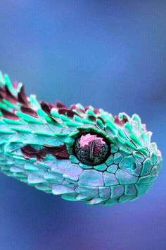 Atheris species, or African Hairy bush Viper....lol. Called hairy due to it's raised, spiky scales and found in the bush I guess. Heavily photoshopped. Snakes sadly don't come in aqua blue and metallic purple.