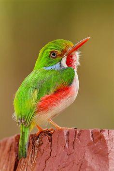Cuban Tody. Cute little green bird. Reminds me of a Kingfisher.