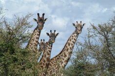 Keeping an eye on you. African Animals, Giraffe, Eye, Giraffes