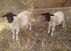 Jornal Municipal: Bandidos furtam carneiros em Monteiro
